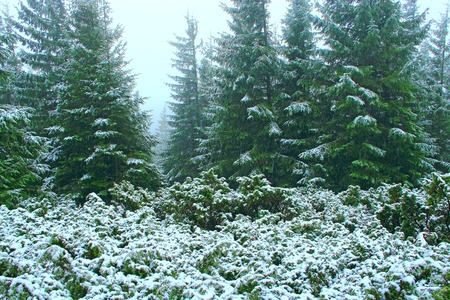 Dense green forest with fir trees after first snow in year. Gloomy fir forest. Forest landscape. Natural landscape. Misty silent wood. Spruces in wood. Coniferous wood in mountains Stok Fotoğraf