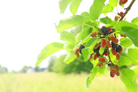 Branch of ripe mulberry in sunny rays. Red and black berries on tree. Ripe mulberry hanging on tree. Crop of mulberry