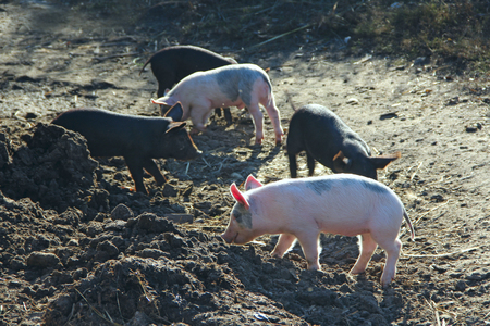 Piglets play and jolly run in farm yard. Funny pigs. Baby piglets play in yard. Little pigs live at farm in village. Piglets digging in manure