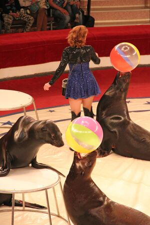 Seals performing on arena in circus together with animal trainer. Marine mammals performing in arena of circus. Performance of fur seals and woman in circus Editorial