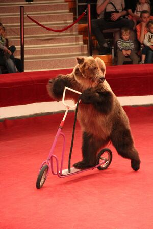 Bear driving on pedal cycle on circus ring. Bear riding bicycle in circus. Trained bear riding push-cycle around circus arena. Performance with trained animal in circus