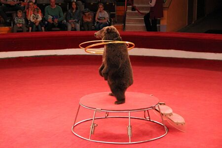 Trained bear twisting hoops in circus arena. Bear cheering audience in circus. Bear showing tricks on circus arena. Trained animal showing number with hoops