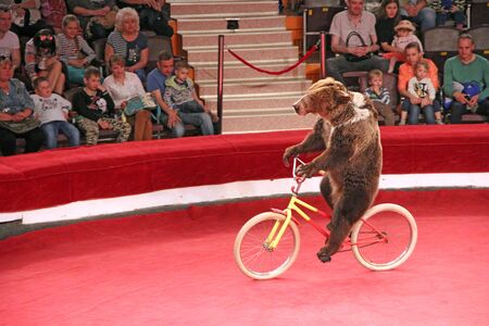 Trained bear driving on bicycle on circus ring. Bear riding bicycle in circus. Amusing bear riding bike around circus arena. Performance with trained bear in circus Editorial