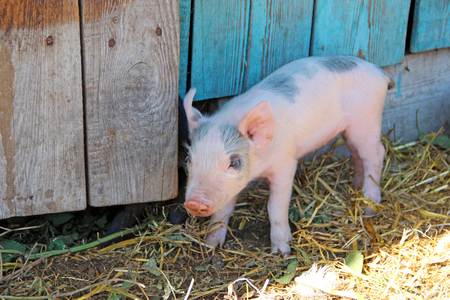 Small piglet running jolly on farm yard. Pink piglet standing on sraw