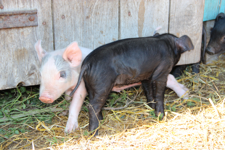 Piglets playing and jolly run in farm yard. Funny pigs. Baby piglets play in yard. Little pigs live at farm in village. Piglets digging in manure Stock Photo