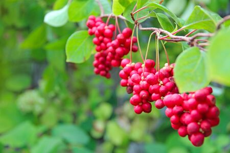 Red schisandra growing on branch in row. Clusters of ripe schizandra. Crop of useful plant. Red schizandra hang in row on green branch. Schizandra chinensis plant with fruits on branch Imagens
