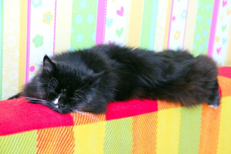 Black cat with white tie lying on bright color sofa. Beautiful cat with big white whiskers laying on sofa