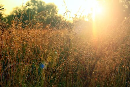 Tall grass covered with dew at sunrise. Meadow grass in sun glare. Sunny rays illuminate grass in meadow. Field with dew at dawn. Meadow plant in rays of morning sun Фото со стока - 130784243