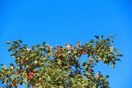 Sparrows sitting on plum tree among branches and fruits. Birds among ripe plums on tree. Sparrows sitting near ripe fruits and leaves of plum