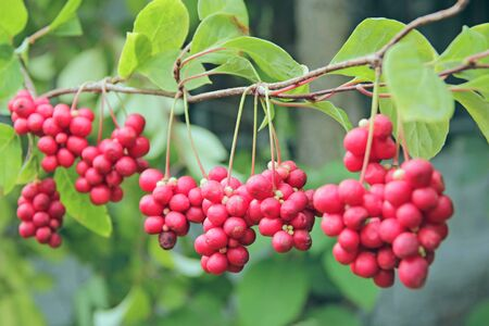 Schisandra growing on branch in row. Clusters of ripe schizandra. Crop of useful plant. Red schizandra hang in row on green branch. Schizandra chinensis plant with fruits on branches