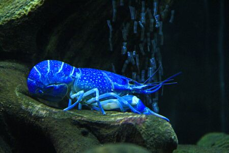 Blue crayfish laying on bottom of aquarium. crawfish lays on bottom of river transparent water Archivio Fotografico