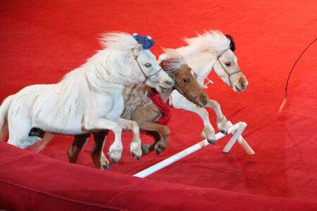 Weiße Ponys laufen auf Arena im Zirkus. Schönes Pony. Tiertrainer tritt zusammen mit kleinen Pferden im Zirkus auf