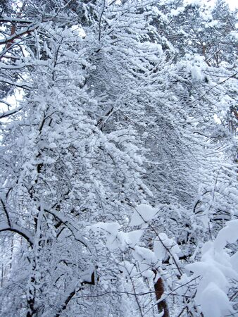 Thick snowy forest covered with snow cover. Heavy precipitations in winter forest. Trees and branches drowned in snow. White fairy tale in forest. Beautiful frozen in time winter wood