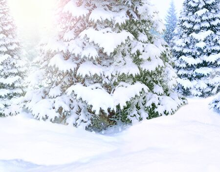 Beautiful winter forest. Spruces covered by white snow in wood. Spruces branches covered with snow. Christmas tree in snow in winter forest. Fairy-tale beautiful tree covered with snow in forest