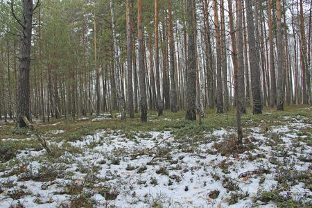 Vaccinium vitis-idaea under snow in forest. Plants of cowberry in spring forest. Pine forest with snow and mountain cranberry. coniferous wood in early spring