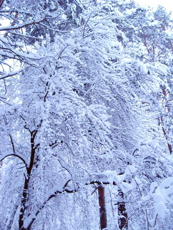 fabulous hoarfrost pasted all over with branches of trees. hoarfrost on branches of trees in winter wood. Winter landscape