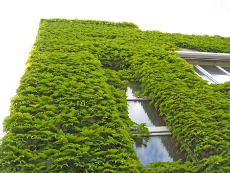 two-story building is completely overgrown Parthenocissus tricuspidata. Parthenocissus tricuspidata growing on the surface of building. Parthenocissus tricuspidata encircled entire building