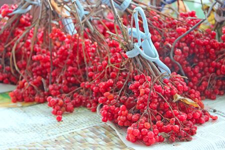 Ripe fruits of guelder-rose hang on branches. Ripe fruits of viburnum. Clusters of red ripe guelder-rose. Crop of viburnum 스톡 콘텐츠