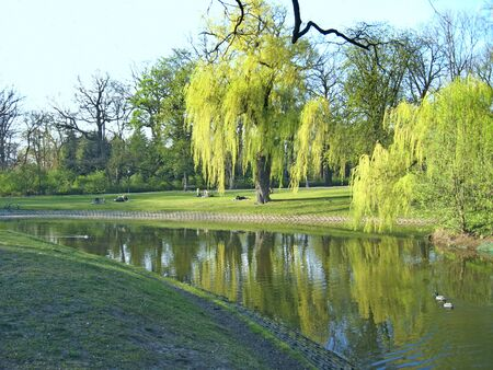 Beautiful park with big green willows growing on bank of river. Urban nature in Lodz. Green trees grow in city park. Wild ducks live in city park on lake. People relax in summer park 스톡 콘텐츠