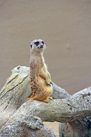 Meerkat is standing. Wary rodent stands on hind legs. Meerkat looking standing on hind legs. Portrait of Meerkat Suricata suricatta.