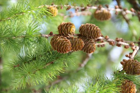 Pine cones on branches. Brown pine cone of pine tree. Growing cones close up. Larch cones growing in row on branch with needles. Fresh fruits of coniferous tree Imagens