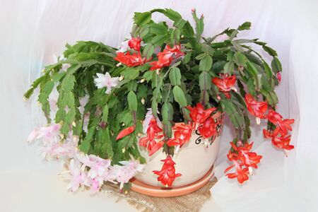 Schlumbergera red flowers. Christmas flowers in flowerpots. Room decoration. Beautiful red flowers of Schlumbergera