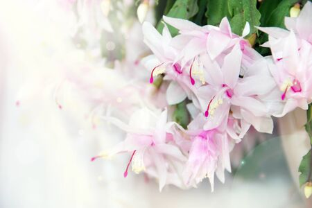 Schlumbergera pink flowers. Christmas flowers in flowerpots. Room decoration. Beautiful pink flowers of Schlumbergera