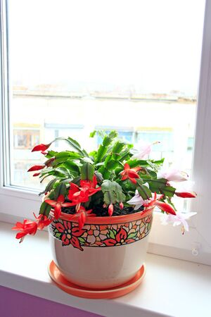 Schlumbergera red flowers. Christmas flowers in flowerpots. Room decoration. Beautiful red flowers of Schlumbergera. Two-color flower blooming in one pot