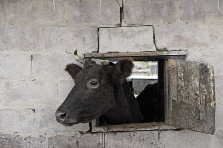 Cow looking out from window of shed on brick wall. Cow showing its head from shed and hiding inside
