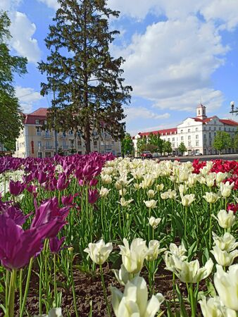 Flowerbed decoration. Many tulips grow in city. Beautiful spring tulips on flower bed in city in bright day. Beautiful architecture of town of Chernihiv and purple tulips. Tulips bloom in city 版權商用圖片