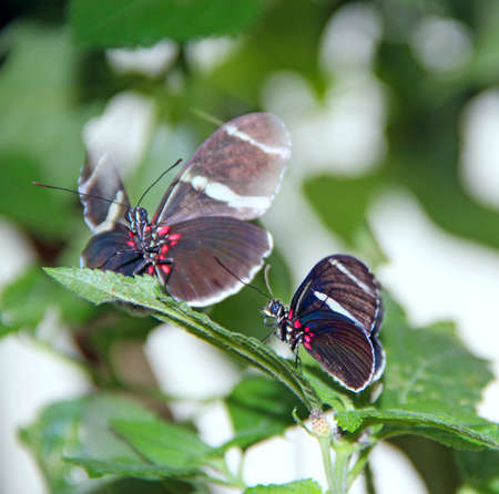 Butterflies with dark wings sit on green foliage. Graceful butterflies sit on the leaves of plant macro. Beautiful insects in the wild