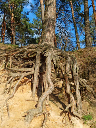 Pine tree with huge roots in the forest. Pine root growing above the ground. Tree of pine with big roots