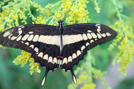 Giant Swallowtail butterfly. Papilio cresphontes on green leaves. Beautiful insect. Big butterfly sitting on green leaves and collecting pollen on flowers