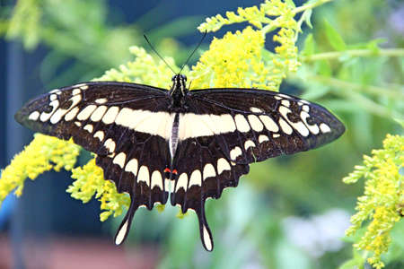 Giant Swallowtail butterfly. Papilio cresphontes on green leaves. Beautiful insect. Big butterfly sitting on green leaves and collecting pollen on flowers 스톡 콘텐츠