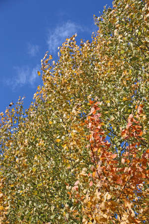 red and yellow leaves of aspens rustling on tree in autumn in forest. Wind blowing autumnal leaves. Seasonal concept