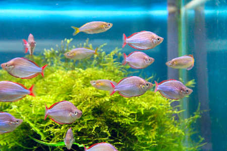 Beautiful underwater world. Beautiful aquarium with colored fishes and underwater plants. Underwater life. Flock of aquarium fishes Фото со стока