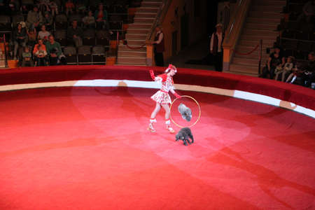 Trained poodles performing in circus arena. Trained dogs in circus. Amusing dogs. Two poodles dance jumping through hoop on red circus arena. Circus performance with poodles and animal trainer