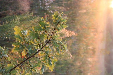 Oak branch with green leaves in sunny rays. Tree branch in spider's web and in morning sun rays. Good morning. Wild nature. Oak branch in morning dew. Drops of dew on leaves of tree. Sunrise