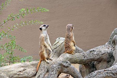Meerkats standing. Wary rodents standing on hind legs. Meerkats looking standing on hind legs. Portraits of Meerkat Suricata suricatta