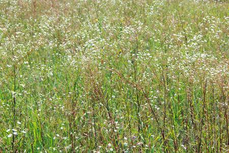 White wild chamomiles blossom in summer field. Beautiful white chamomiles. Chamomile flowers. White field flowers in summer closeup Фото со стока