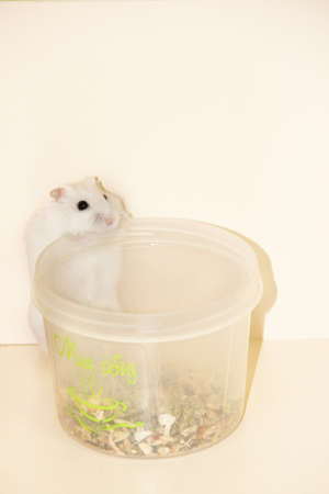 white hamster standing over food container. Hamster food. pet is hungry. Small white hamster close up. Hamster smelling. Pet living at home. Amusing animals
