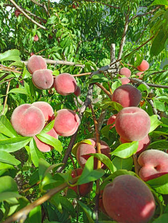 Peaches on branches. Fruits of peach in garden. Ripe fruits of peach. Branch of ripe peach tree in closeup. Delicious red peaches hang from tree branches. Fruit harvest Фото со стока