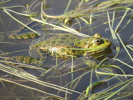 The green frog is partially submerged in water, against the background of algae. Russia.