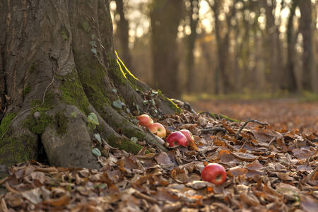 apples in the autumn forest photo