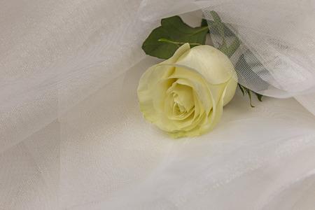 tulle: Beige rose on white tulle