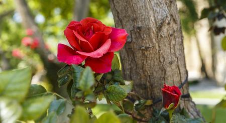 shrub: Shrub roses in the park
