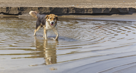 playful behaviour: Stray dog walk on the water at the beach