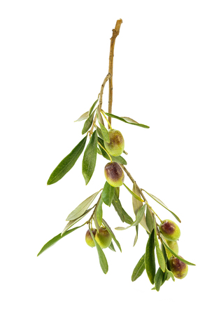 olive  tree: A branch of olives hanging on a white background