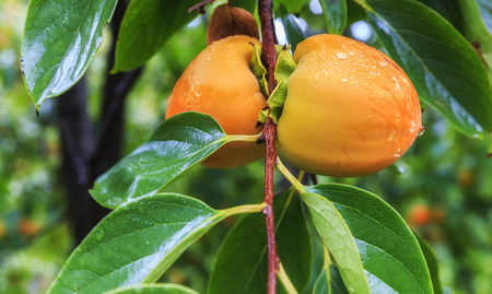 persimmon tree: Ripe persimmon on a tree in the rain