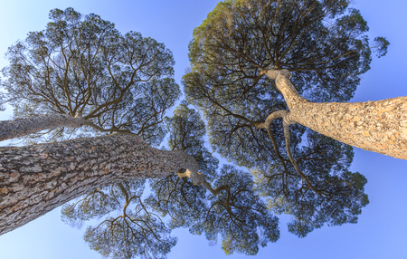 Pinus pinea growing on the territory of Italy Imagens